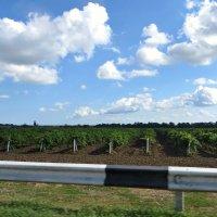 В Темрюкском районе около 74 % площадей виноградников Краснодарского края :: Татьяна Смоляниченко