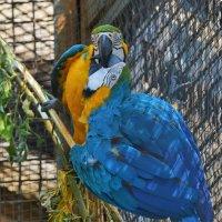 Сине-жёлтый ара :: Константин Анисимов