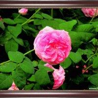 Роза чайная :: Нина Бутко