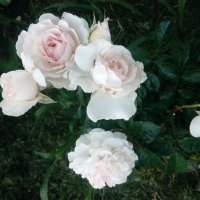 """Роза """"Great North Eastern Rose"""" флорибунда :: alexeevairina ."""