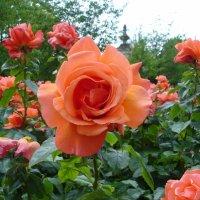 Ах эти розы из Сада роз... :: Тамара Бедай