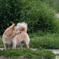 Заинтересованная собака :: Николай Гейкер
