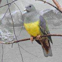 Желтобрюхий голубь Брюса. :: Вадим Синюхин