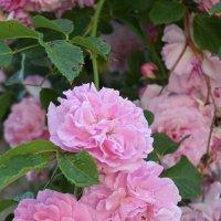 rose :: Jerzy Hermanowicz