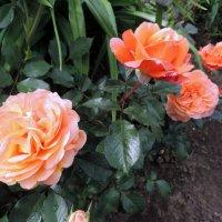 """Роза """"Belvedere"""" шраб :: alexeevairina ."""