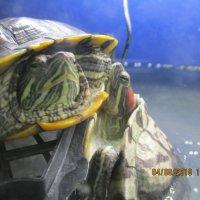 Красноухая черепаха. :: Зинаида