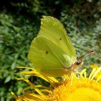 Желтая бабочка на желтом цветке :: Татьяна Лобанова