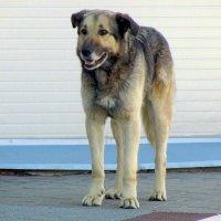 Добрый Пёс :: Сергей Карачин