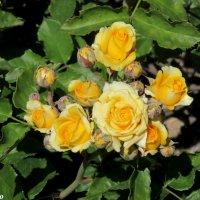 Розы кустовые :: Нина Бутко