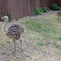 40-дневный птенчик страуса :: veera (veerra)