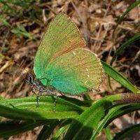 Малинница, или голубянка малинная (лат. Callophrys rubi) :: vodonos241
