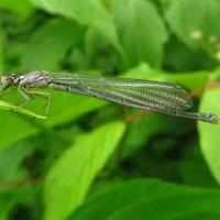 *Ischnura elegans - Тонкохвост изящный. :: vodonos241