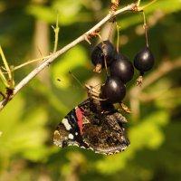 Бабочка на ягодках :: Aнна Зарубина
