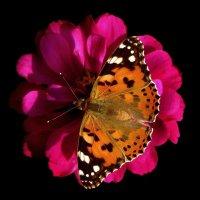 Бабочка позирует. фото-1. :: Nata