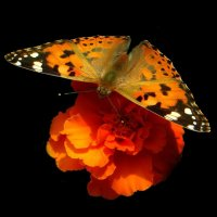 Бабочка позирует. фото-3. :: Nata