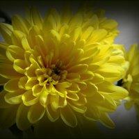 Желтая хризантема :: Сергей Карачин