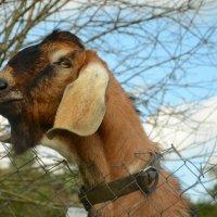 Портрет козла :: demyanikita