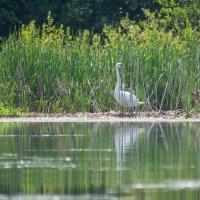 Лебедь(озеро Кандрыкуль) :: Stasya♥♥ ♥♥Stasya