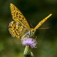 бабочка :: Петр Беляков