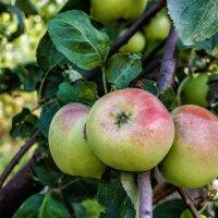 Три яблока.. :: Юрий Стародубцев