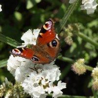 Бабочка :: Лариса Рогова