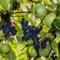Гроздь винограда среди яблок.. :: Юрий Стародубцев