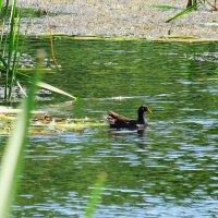 Камышница, или водяная, или болотная курочка :: Лера
