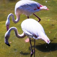 Фламинго :: Павел C