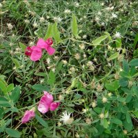 В мире полевых цветов :: Нина Корешкова