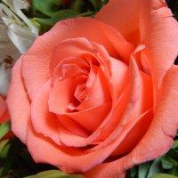 Розовая роза :: Татьяна ***