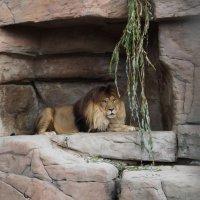 Одинокий лев в неволе :: Любовь Клименок