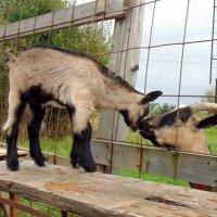 Домашние козы :: Юлия Ошуркова