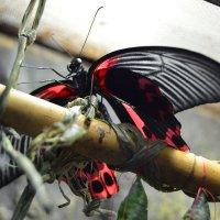 Красно-черная бабочка :: Наталья (ShadeNataly) Мельник