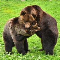 Медвежьи объятия :: Татьяна Каневская