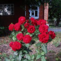 Розы под моим окном. :: Татьяна Корнеева