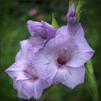 Сиреневый гладиолус :: lady v.ekaterina