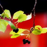 Ветка с ягодами :: Wirkki Millson