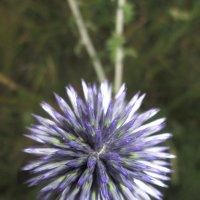 Полевые цветы 5 :: Алексей Кузнецов