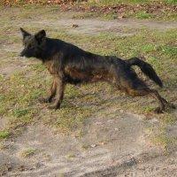 Пёс :: Алёна Сапунова
