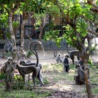 Лангуры рядом с гостевыми домиками в национальном парке Яла. :: ИРЭН@ .