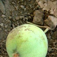 Упало зелёное яблочко... :: Нина Корешкова