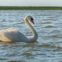 Грация лебедя :: Фёдор. Лашков