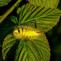 Гусеница бабочки краснохвоста :: ofinogen
