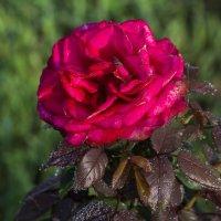 утренняя роза :: Наталья Крюкова