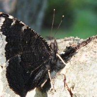 Бабочка :: Михаил Молахов