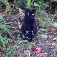 чёрный кот :: Alisa Koteva