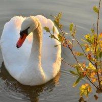 Белый лебедь на осеннем пруду :: Татьяна Каневская