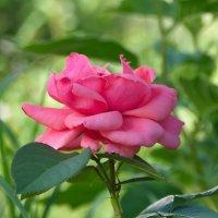 Нежная розочка :: lady v.ekaterina