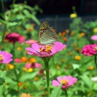 Бабочка и цинии :: Татьяна Ларионова