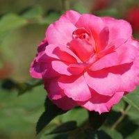 Поздняя роза :: Наталия Григорьева